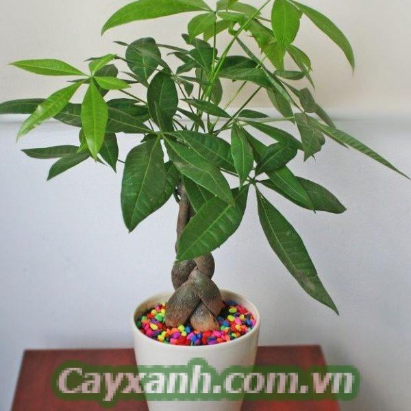 cay-kim-ngan-1