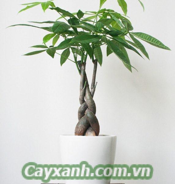 cay-kim-ngan-xoan-3