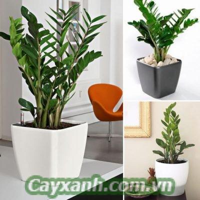 cay-kim-phat-tai-1 Bí quyết giúp Cây Kim Phát Tài xanh tốt quanh năm