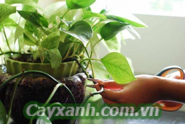 cay-trau-ba-1-454x400 Kỹ thuật trồng Cây Trầu Bà trong phòng khách