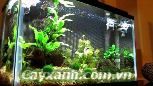 cay-canh-thuy-canh-1-2 Hướng dẫn trồng cây thủy canh cho bể cá cảnh
