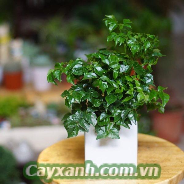 cay-hanh-phuc-4 Cây hạnh phúc đặt ở đâu thích hợp nhất?