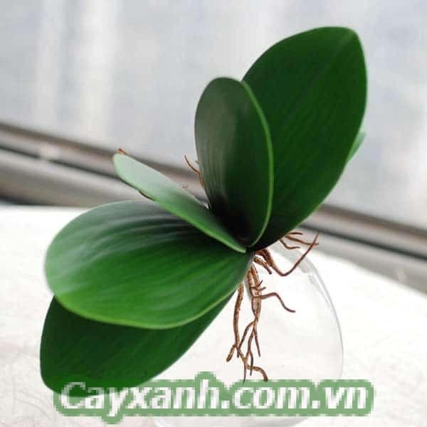 cay-lan-ho-diep-1-1 Chuyên gia hướng dẫn tưới nước cho cây lan hồ điệp