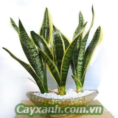 cay-giang-huong-4-300x300 Products
