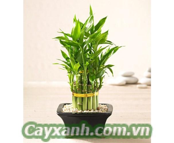 cay-phat-tai-1 4 công dụng của cây phát tài khi trồng trong nhà