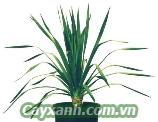 cay-phat-tai-nui-1 Ý nghĩa và tác dụng của Cây Phát Tài Núi