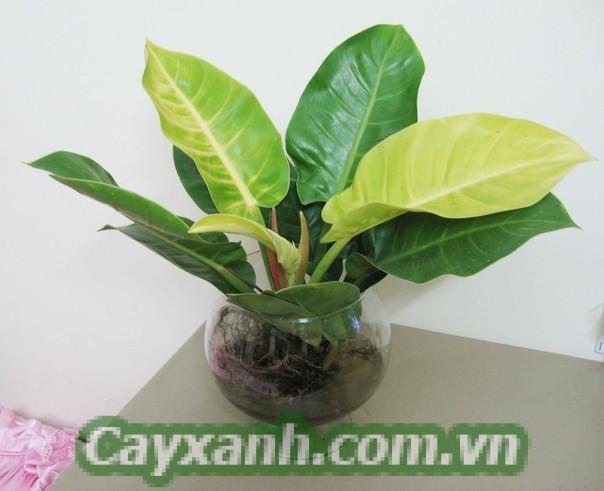 cay-trau-ba-de-vuong-1-1-552x400 Ý nghĩa phong thuỷ của cây trầu bà đế vương