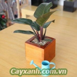 cay-giang-huong-4 Products