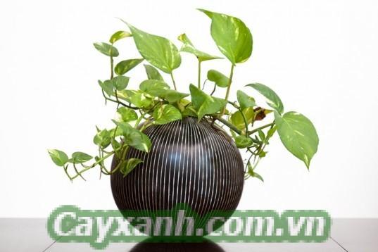 cay-xanh-phong-thuy-1-3 Công ty cây xanh phong thủy Hà Nội chất lượng