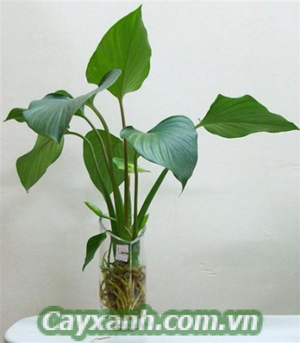 cay-xanh-phong-thuy-5 Cây xanh phong thủy cho người tuổi Tý