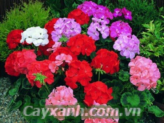 hoa-ban-cong-1-1-533x400 Điểm tên loài hoa ban công toả hương thơm mát