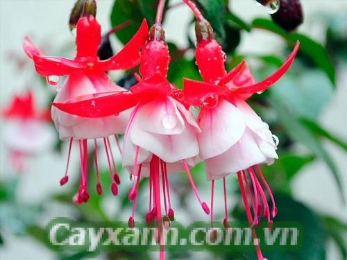 hoa-ban-cong-1 Những mẫu hoa ban công đẹp say lòng người