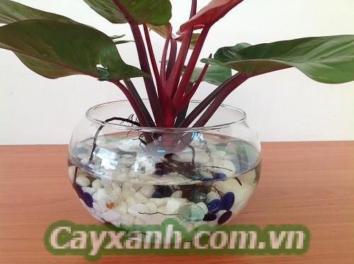 cay-canh-thuy-canh-1 Cây cảnh thủy canh cho dân văn phòng công sở