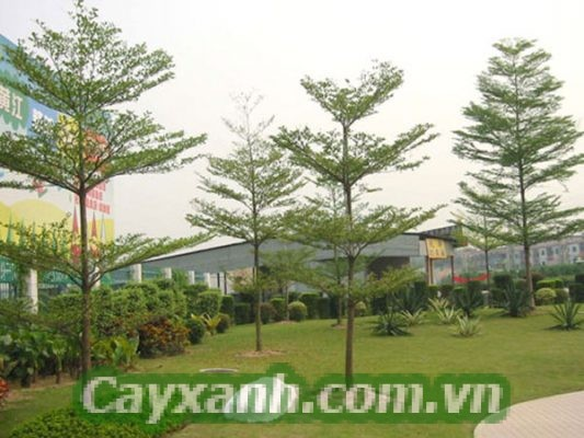 cay-bang-dai-loan-2