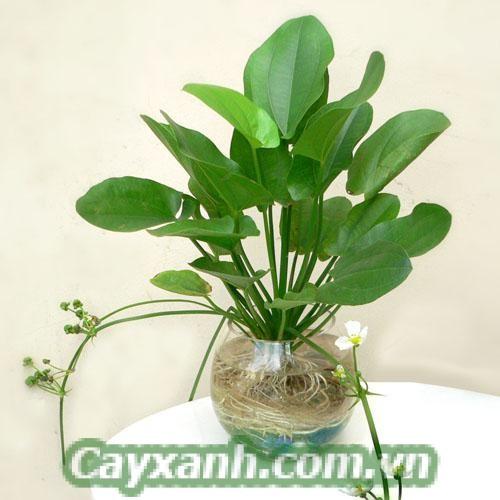 cay-canh-de-ban-1-4 Cây cảnh để bàn trồng trong nước hút tài lộc
