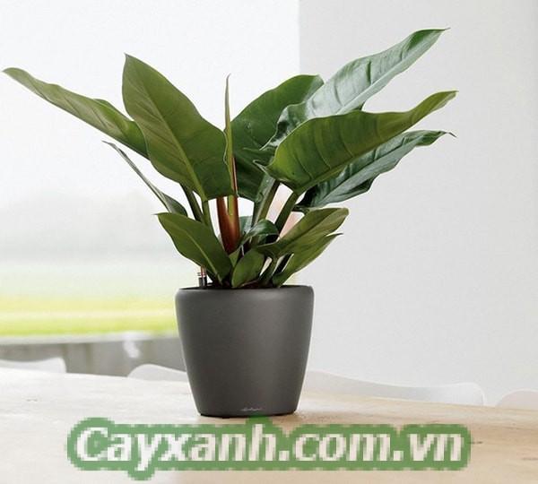 cay-canh-de-ban-4