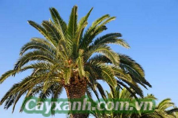 cây cọ dầu