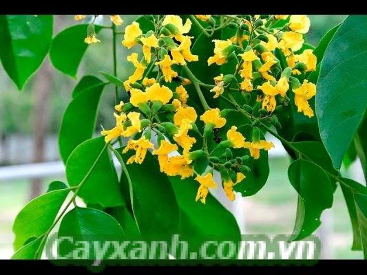 cay-giang-huong-2