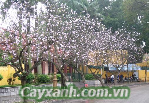 cay-hoa-ban-1-532x400 Cây Hoa Ban -  Vẻ đẹp đặc trưng của vùng Tây Bắc