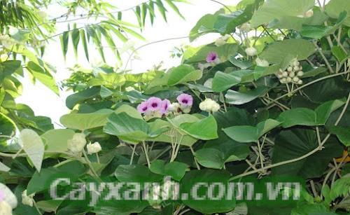cay-hoa-leo-1 Bảng xếp hạng cây hoa leo đẹp mà dễ trồng