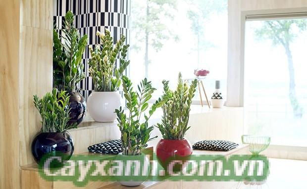 cay-kim-tien-1-1 Chia sẻ cách trồng cây kim tiền rước lộc vào nhà