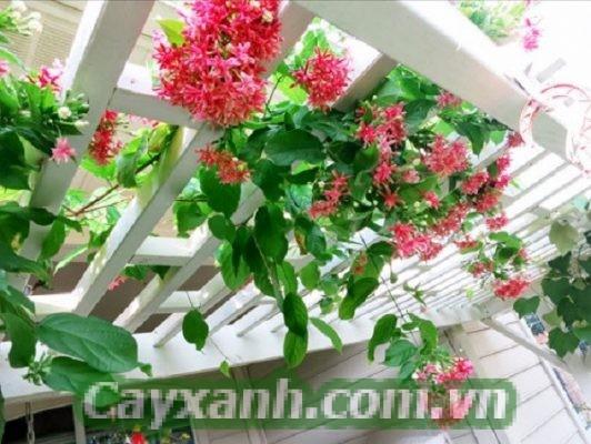 cay-day-leo-nhanh-1 Cây leo giàn nhanh phủ đầy bằng hoa tươi & lá xanh