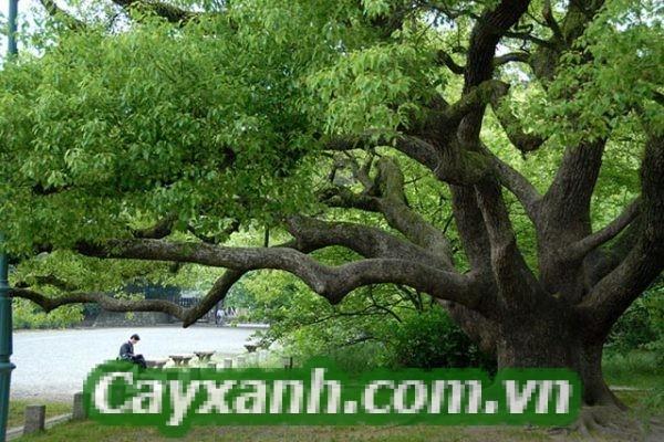 cay-long-nao-1-573x400 Cây Long Não - Loài thực vật quý hiếm
