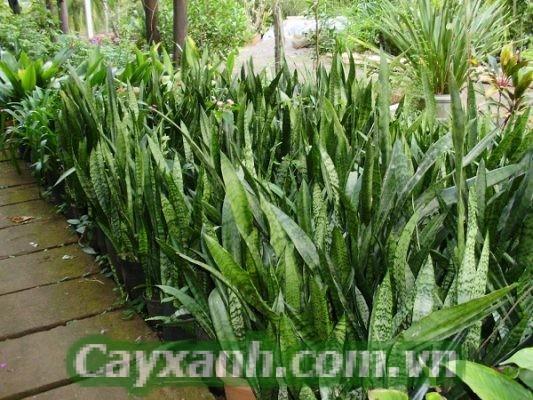 cay-luoi-ho-1 Tác dụng cây lưỡi hổ đối với gia đình Việt