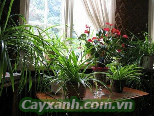 cay-phong-thuy-1 Những cây phong thủy để trong nhà đẹp mắt