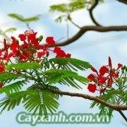 cay-phuong-vi-1