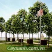 cay-sao-den-2