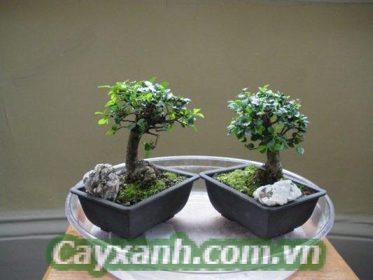 cay-trong-nha-1 Kỹ thuật tạo dáng bonsai cho cây trong nhà