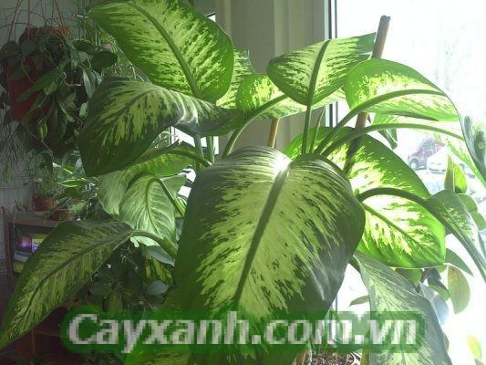 cay-van-nien-thanh-1 Trồng và chăm sóc cây vạn niên thanh như thế nào?