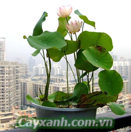 hoa-ban-cong-1 Hướng dẫn chăm sóc hoa ban công cho căn hộ chung cư