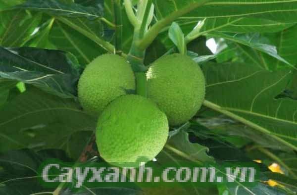 cay-bong-mat-1 4 cây bóng mát lý tưởng để tạo quang cảnh sân vườn