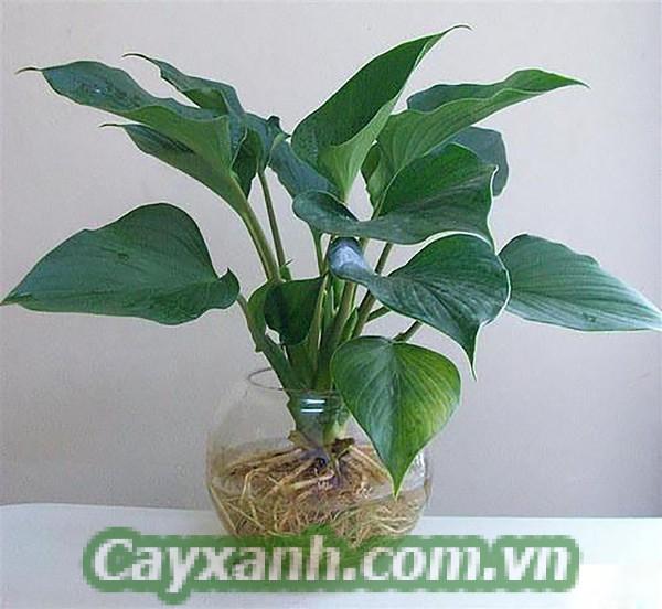 cay-canh-de-ban-2 Địa chỉ bán cây cảnh để bàn số 1 Hà Nội