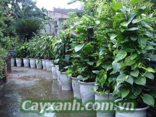 cay-canh-phong-thuy-4 Kiến thức trồng cây cảnh phong thủy cần chú ý