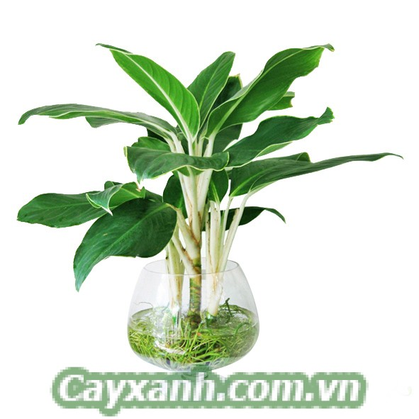 cay-canh-thuy-canh-1 Ưu điểm của kỹ thuật trồng cây cảnh thuỷ canh