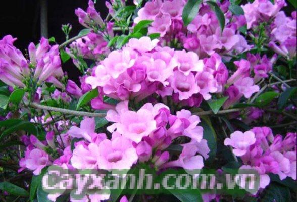 cay-day-leo1-1-534x400 Tại sao nhiều gia đình lựa chọn cây dây leo ánh hồng?