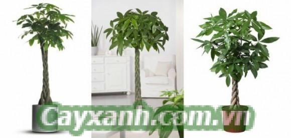 cay-kim-ngan-1 Bí kíp chăm sóc cây kim ngân sống khỏe sống lâu