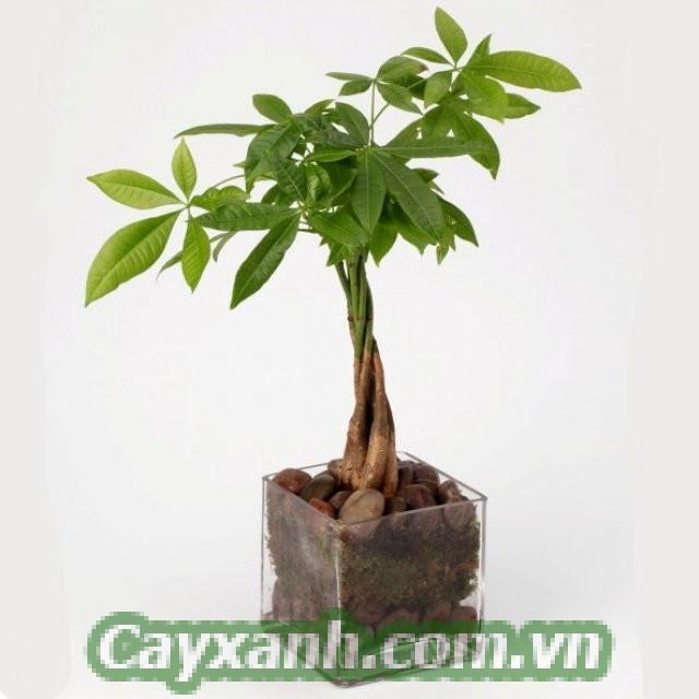 cay-kim-ngan-2