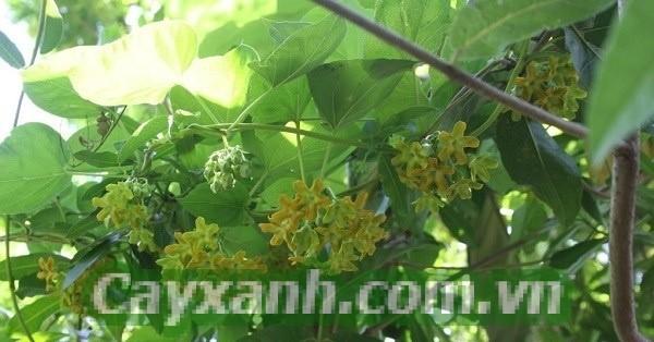 cay-leo-gian-2-1 Cây leo giàn cho hoa đẹp lung linh trước nhà
