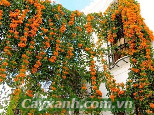 cay-leo-gian-2-2-533x400 Hướng dẫn chăm sóc cây leo giàn khỏe đẹp quanh năm