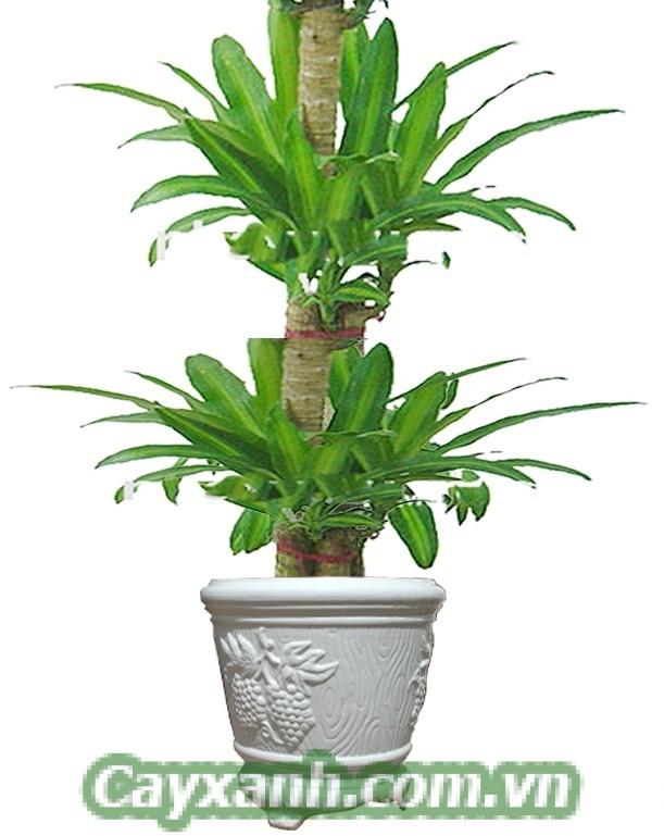 cay-phat-tai-1 Vị trí để cây phát tài trong nhà sinh tài lộc