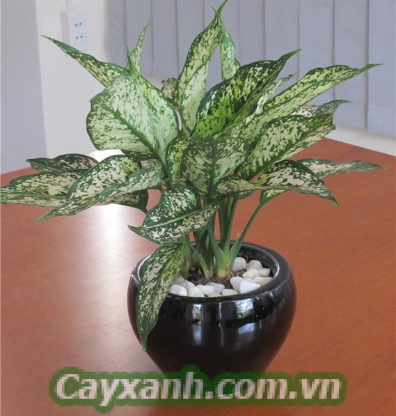 cay-phong-thuy-1-4 Kể tên những cây phong thủy dành cho tuổi Mão