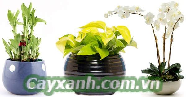 cay-phong-thuy-1-8 Tuổi Tuất nên trồng cây cảnh nội thất nào?