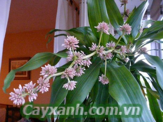 cay-thiet-moc-lan-1-628x400 Bạn có biết ý nghĩa của cây thiết mộc lan?