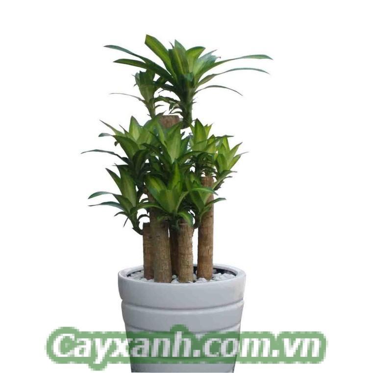 cay-thiet-moc-lan-1-1 Chia sẻ kỹ thuật chăm sóc cây thiết mộc lan