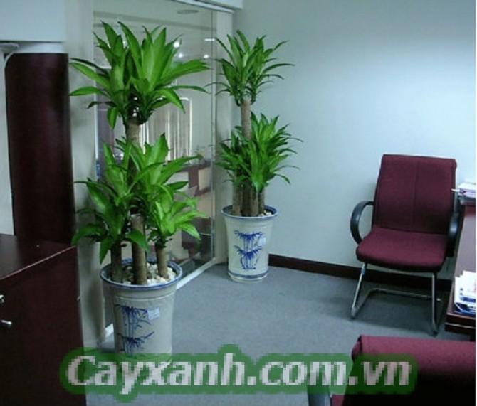 cay-thiet-moc-lan-1-533x400 Cây thiết mộc lan có công dụng gì?