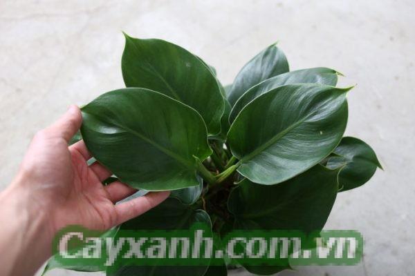 cay-trau-ba-de-vuong-1-4-600x400 Kỹ thuật chăm sóc cây trầu bà đế vương xanh